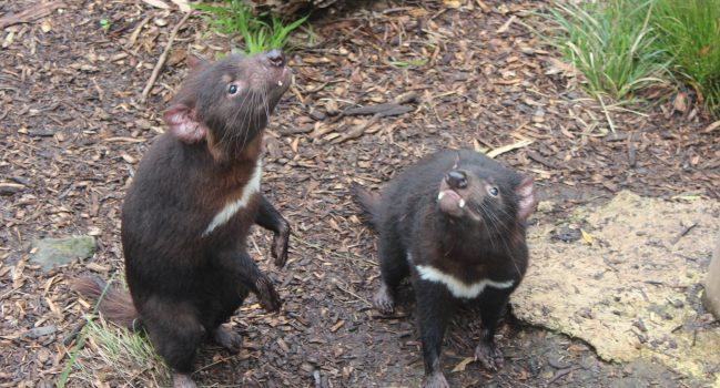 Saving the Tasmanian Devil