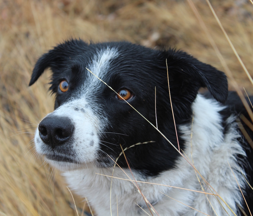 Working Dogs for Conservation dog Seamus